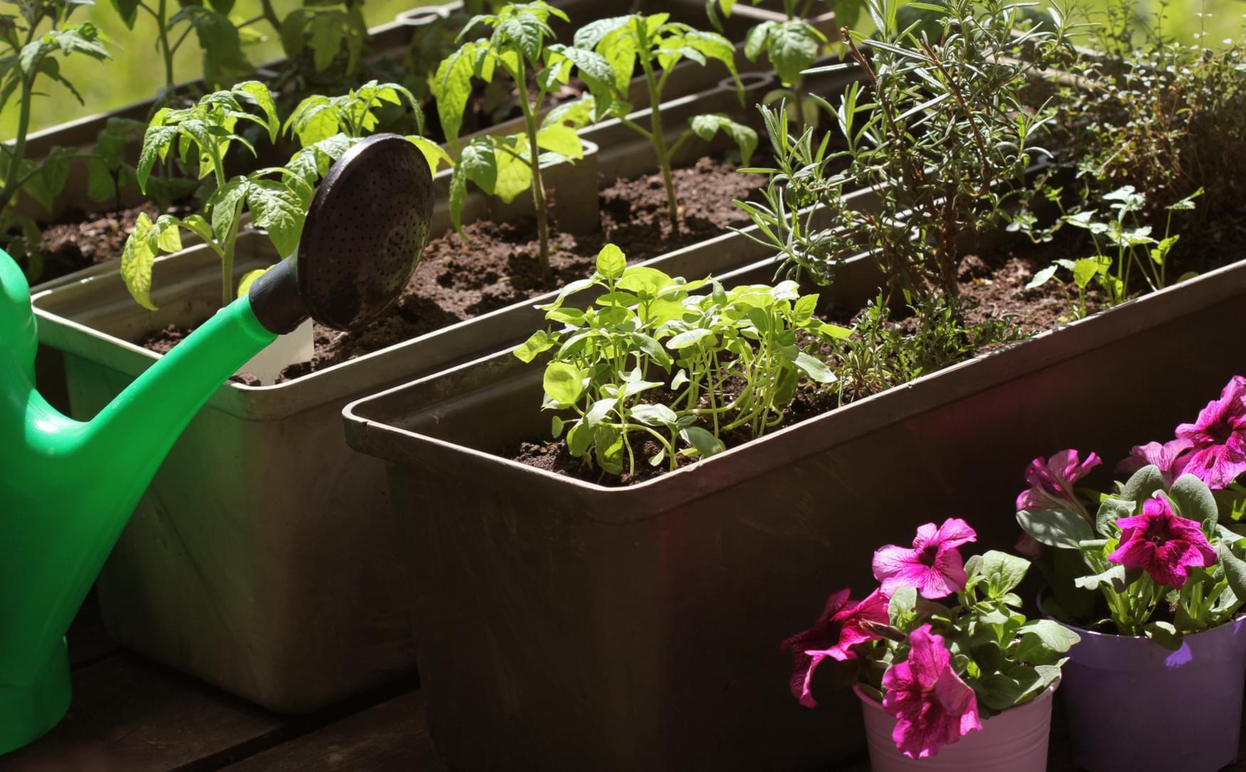 Uprawa Warzyw Warzywniak W Skrzyniach Czy Donicach