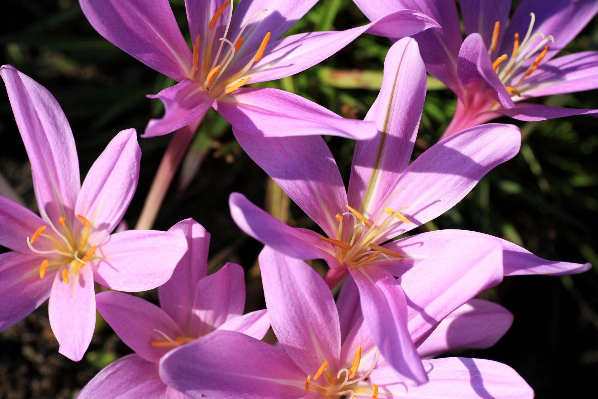 Zimowit jesienny. Jest niezwykle podobny do krokusa i bardzo często te dwa kwiaty są mylone nawet przez doświadczonych ogrodników. Fot.: depositphotos.com