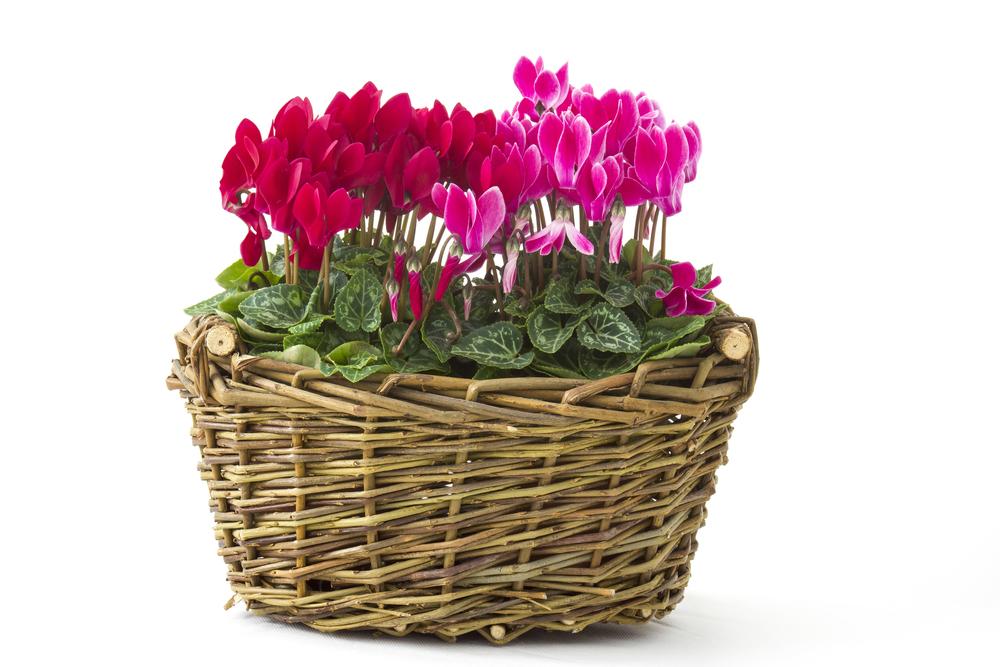 Cyklameny w koszu.W przeciwieństwie do cyklamenu dyskowatego, kwitnącego wczesną wiosną, jego piękne kwiaty pojawiają się we wrześniu. Fot.: depositphotos.com