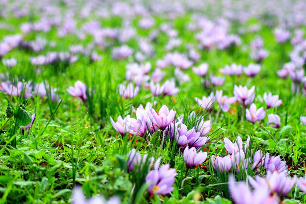 Kwitnące krokusy jesienne. Wśród jesiennych liści są jak obietnica, że za pół roku powrócą razem z wiosną.